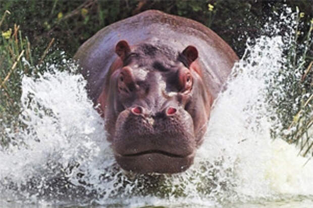 Нападение бегемота на лодку: ярость чудовища чуть не стоила туристам жизней
