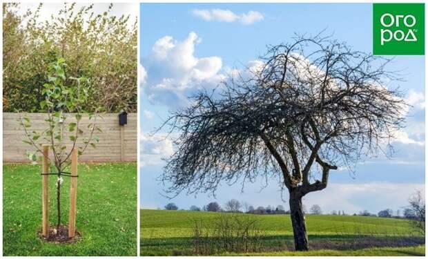Старая и молодая яблони