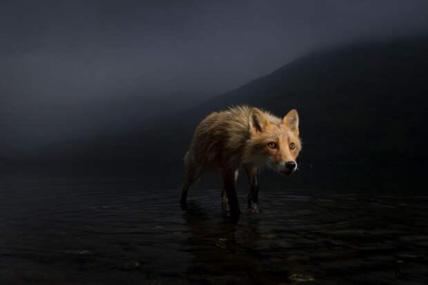 Грозовой лис. / Фото: Джонни Армстронг (США)