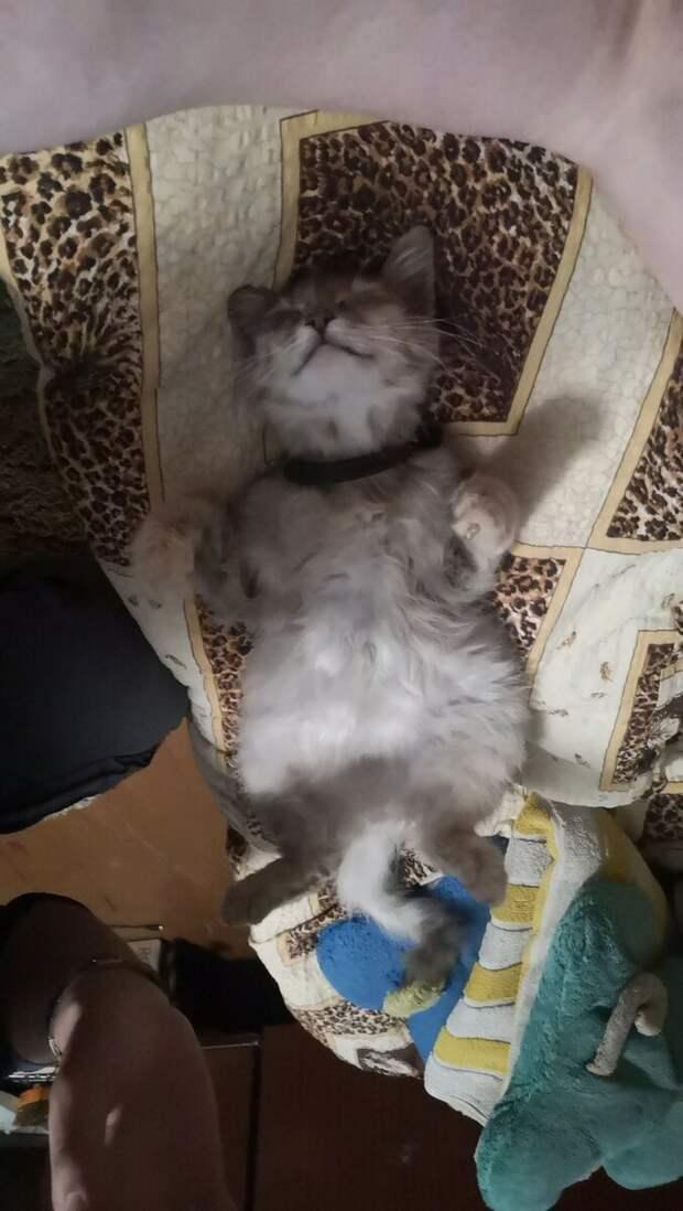 Беременная кошка чудит не меньше беременной женщины. Наша однажды уснула на полпути к миске с молоком