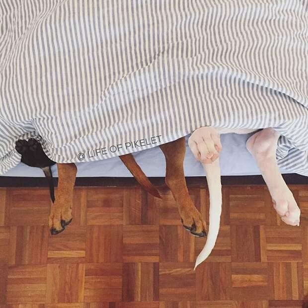 Два спасённых питбуля приняли щенка по кличке Картошка, Пайклет Баттеруолл и Пэтти Кейкс