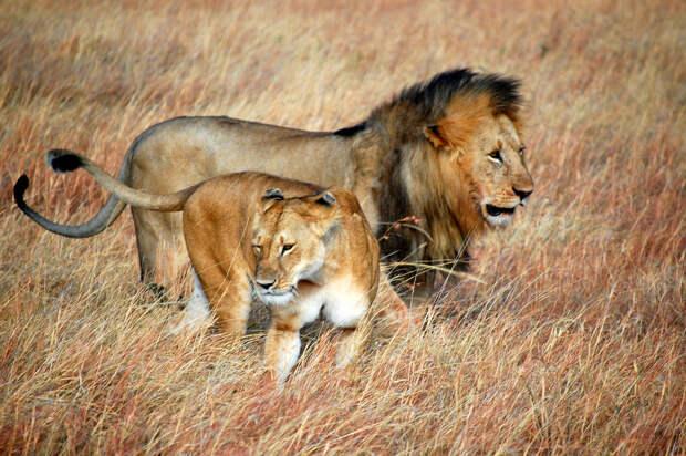 Лев освобождает львицу от дротика с транквилизатором