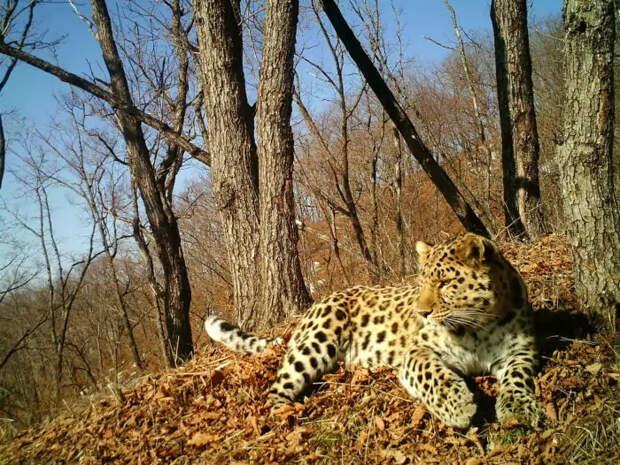Естественные враги дальневосточного леопарда