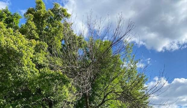 В проезде Дежнёва спилили сухие ветки деревьев по просьбе жителей