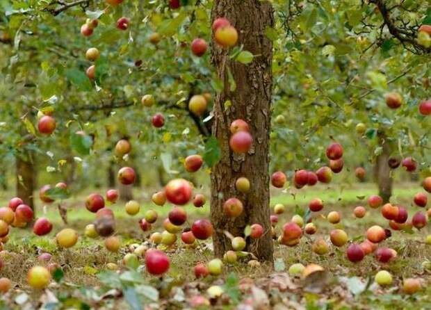 Пожиратели яблок: как с ними бороться