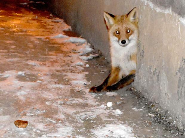 В Рязанской области в подвале пятиэтажки с кошками поселилась лиса