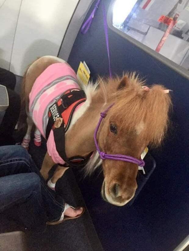 11. Эта пони призвана успокоить тех, кто боится летать борт, животные, пассажир, перелет, полет, самолет, фото