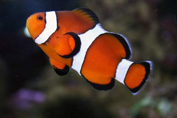 Рыба-клоун животные, красота, океан