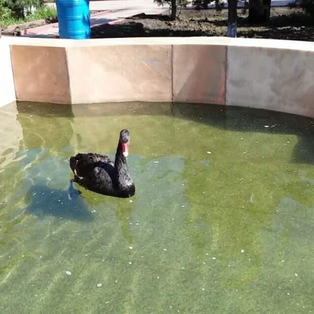 Чёрный лебедь живёт в Казанском храме Иркутска