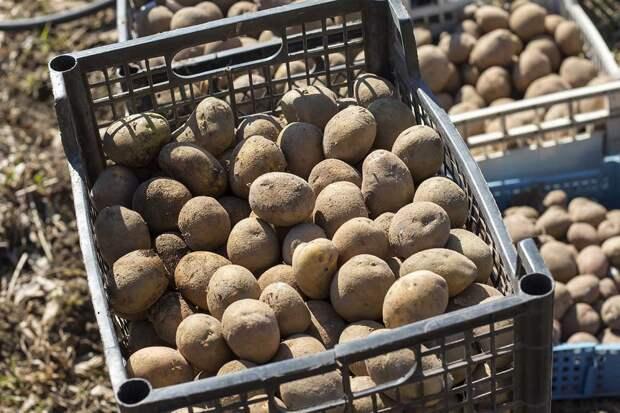 как хранить картошку в ящиках