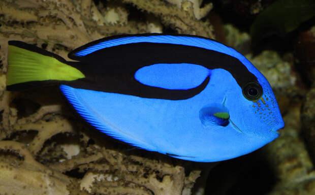 Голубой Хирург животные, красота, океан