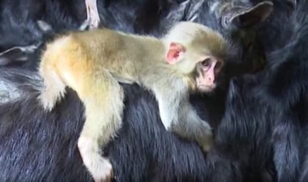 Коза усыновила брошенную обезьянку
