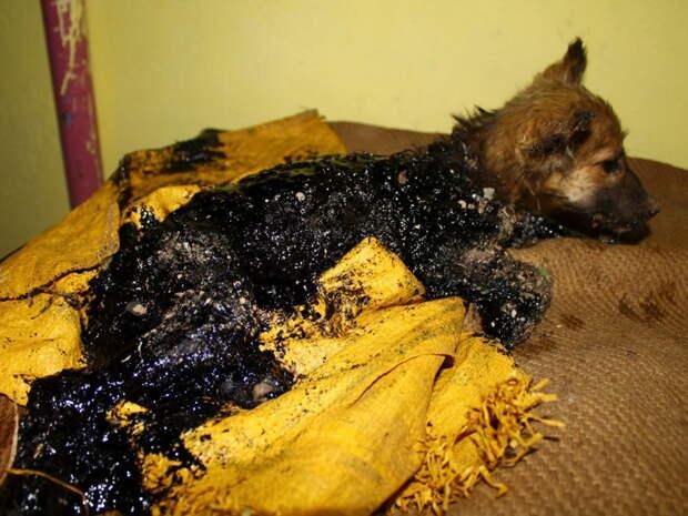 Щенок искупался в смоле, и, казалось, его уже не спасти… Но волонтеры сделали это!