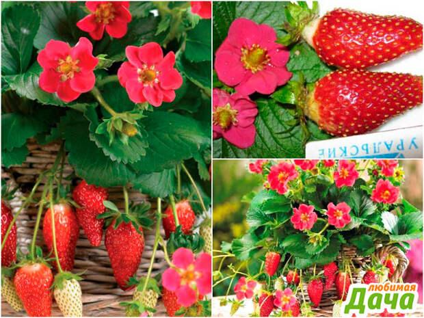 Клубника с красными и розовыми цветами
