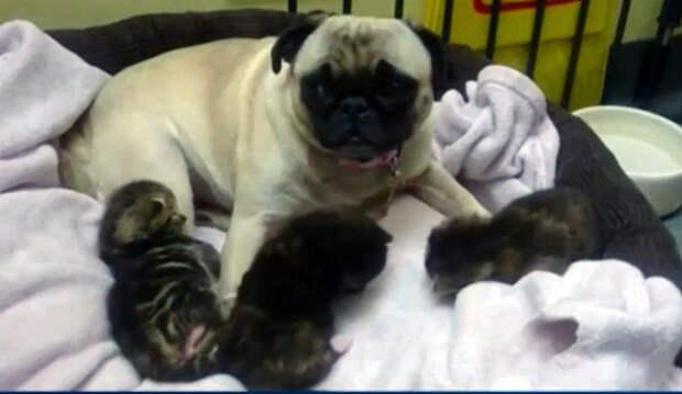 Мопсиха взяла на воспитание трех котят
