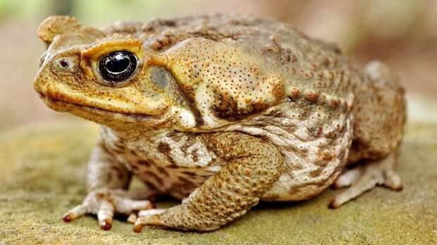 В Австралии ученые исследовали поведение южноамериканских жаб ага, которые начали интенсивно поедать самих себя