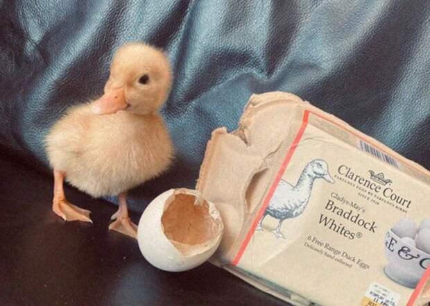 Девушка купила вмагазине яйца, итеперь сней живет маленький утенок