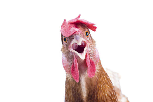 Немецкая курица устроилась работать в салон красоты