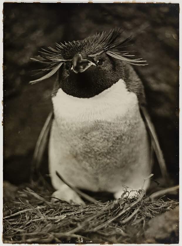 Толстоклювый пингвин, 1911-1912 Австралийская антарктическая экспедиция, антарктида, исследование, мир, путешествие, фотография, экспедиция