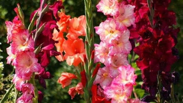 Гладиолус – цветок верности и чести