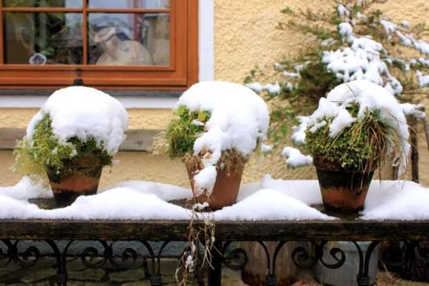 Многолетники под снегом