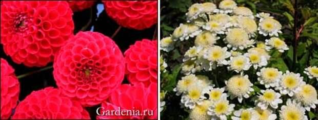 георгины помпонные; хризантема девичья (матрикария)