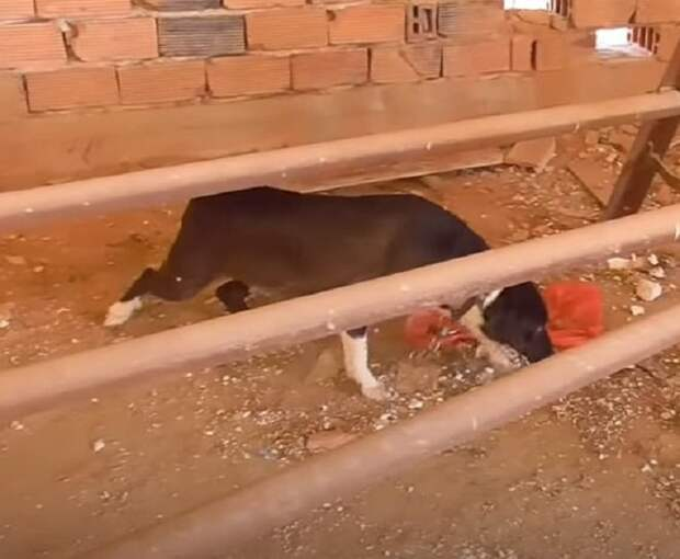Волонтёр зашёл в заброшенное здание и поразился, увидев собак на цепи. Рядом бродили голодные щенки