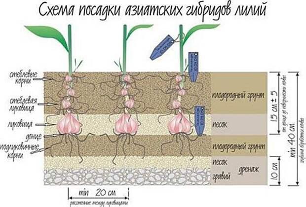 Когда пересаживать лилии: осенью, весной или летом?