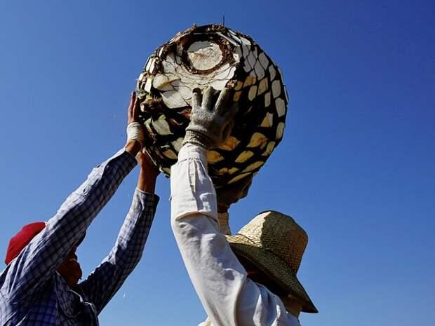 Цель сборщиков — похожая на ананас и оттого зовущаяся «пиньей» сердцевина весом в 35–50 килограммов