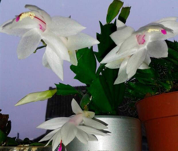Цветущий в декабре. Маленькие секреты рождественского кактуса