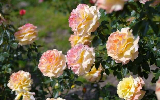 С тлей на розах успешно борюсь без химии