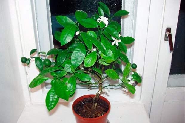 Болезни и вредители мандаринового дерева