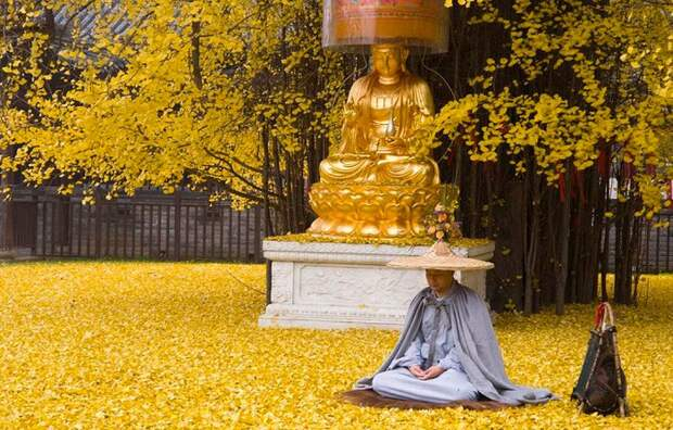 Золотая осень: необыкновенная красота священного дерева гинкго, возраст которого - 1400 лет!