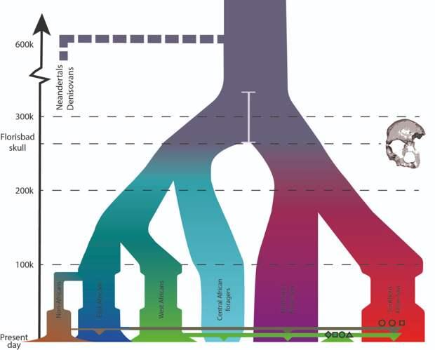 Древо расхождения популяций людей современного типа  Carina M. Schlebusch et al / Science 2017