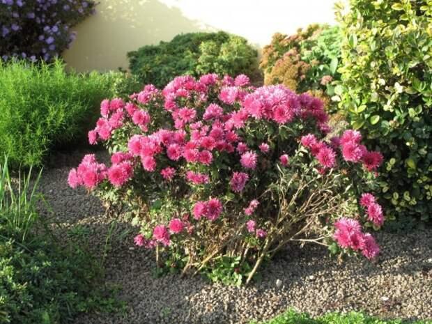 Куст высокорослых хризантем, растущий без опоры и правильной формировки