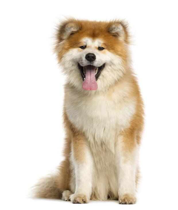 Японская акита-ину, фото фотография собаки