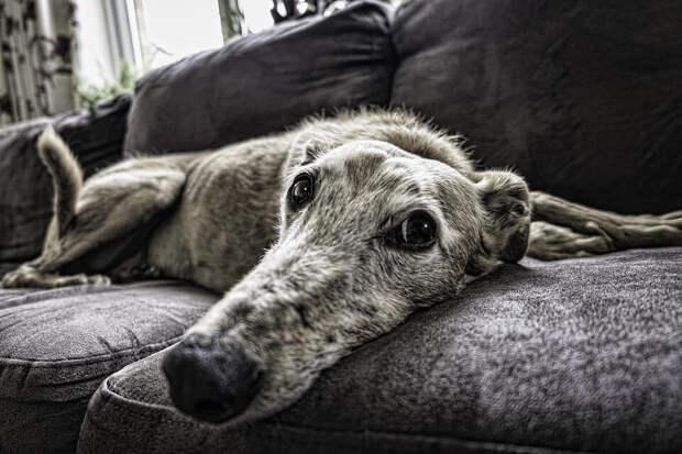 На фото изображена собака, которая лежит на диване.