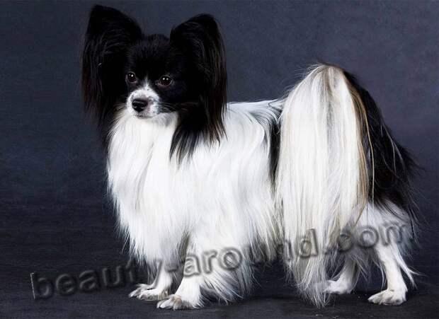 Папильон самые красивые собаки, породы собак с фотографиями