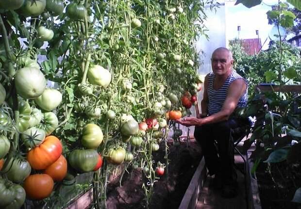 Томаты: секреты хороших урожаев в суровых условиях