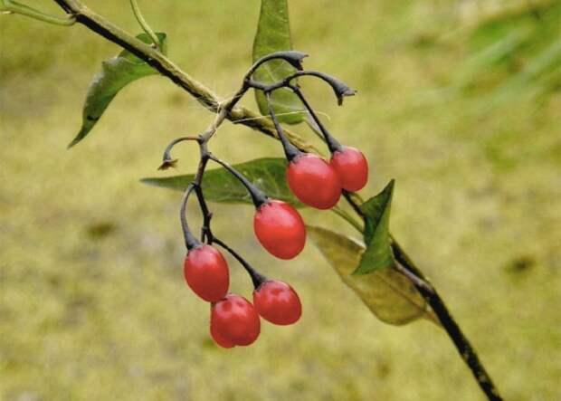Опасные лесные ягоды, которые лучше обходить стороной
