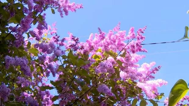 Неприхотливые кустарники, которые очень красиво цветут