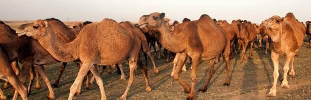 Трупы верблюдов выбросило на берег Каспия