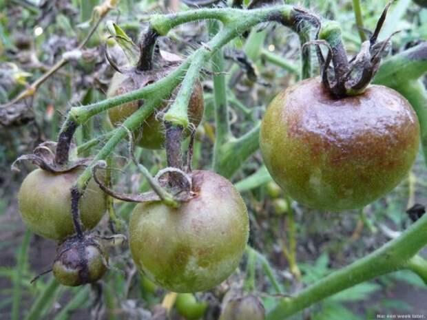 Чем по осени обработать грядки, чтобы впоследствии никакая зараза не тронула огурцы и помидоры