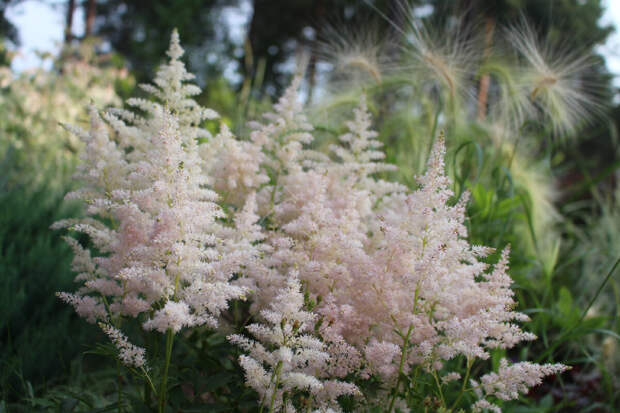 """Астильба """"Younique Silvery Pink"""" в нашем саду в июле"""