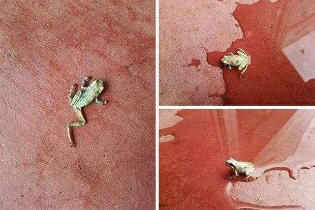 11. Эта лягушка была найдена засохшей на жаре. Ее облили водой, и она ожила! животные, мир, подборка, природа, ужас, фото, явление