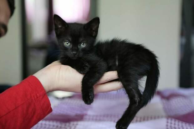 Маленькая кошка по кличке Шури очаровала новых хозяев своими красивыми зелёными глазами домашний питомец, животные, забота, кошка, спасение