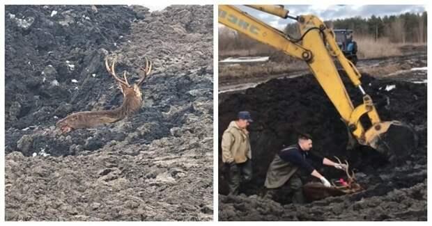 Спасение провалившегося в ил оленя болото, видео, животные, олень, россия, спасение, тверь