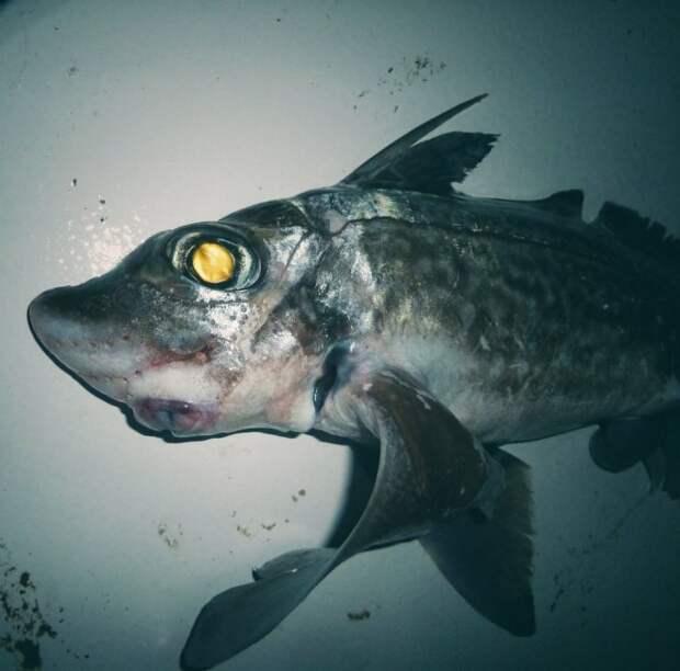 Потустороннее со дна морского. #химера в #трал попала. twitter, Социальные сети, вода, монстр, рыба, рыбак