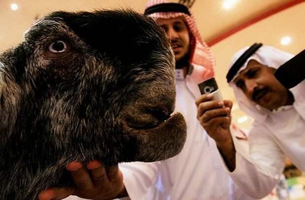 13. Порода, животные, козел, козы, необычные животные, саудовская аравия, селекция, уродливые животные