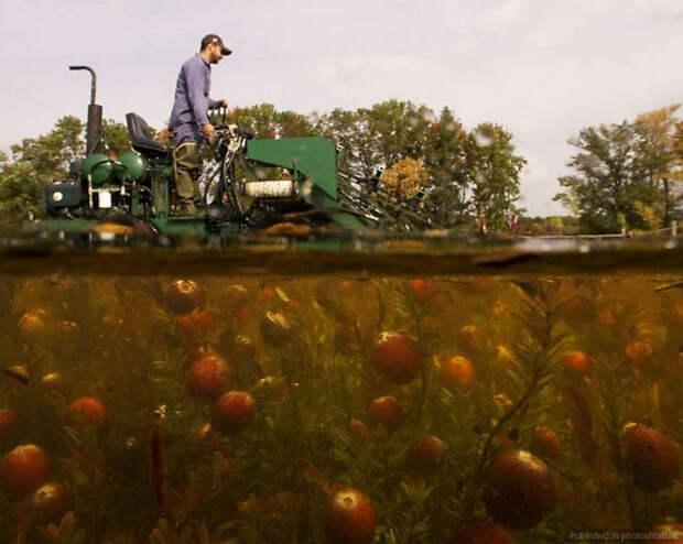 Почему в Висконсине клюкву собирают в воде